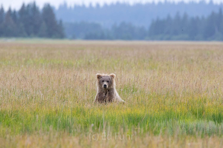 brown bear, salmon, lake clark, alaska, photo