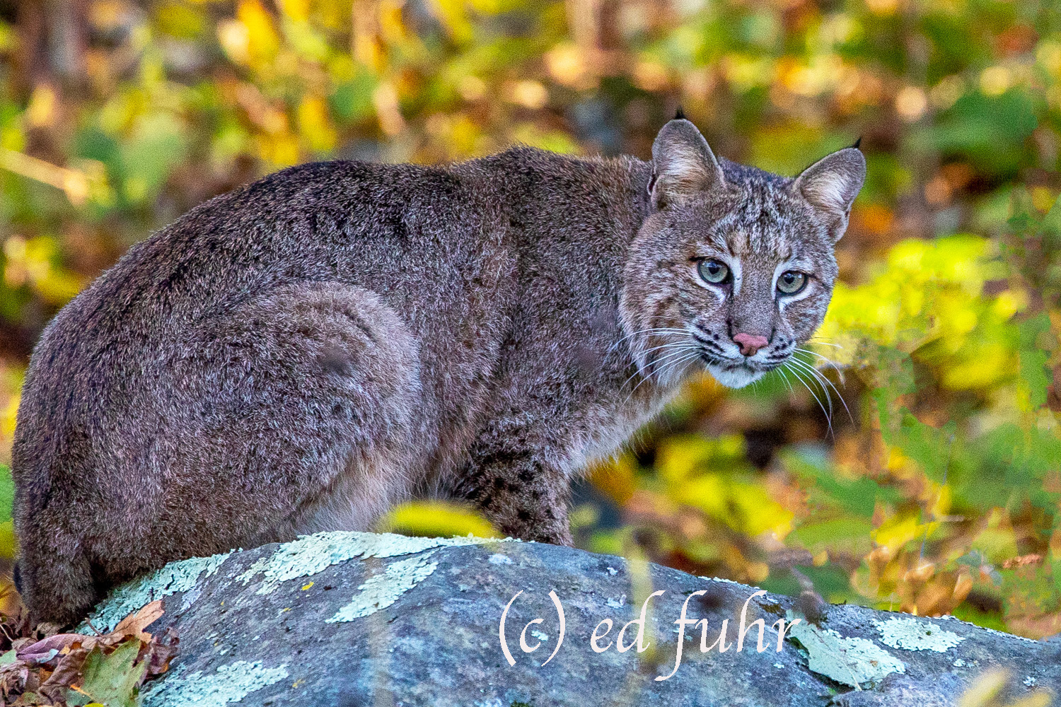 bobcat, autumn, shenandoah, wildlife, photo