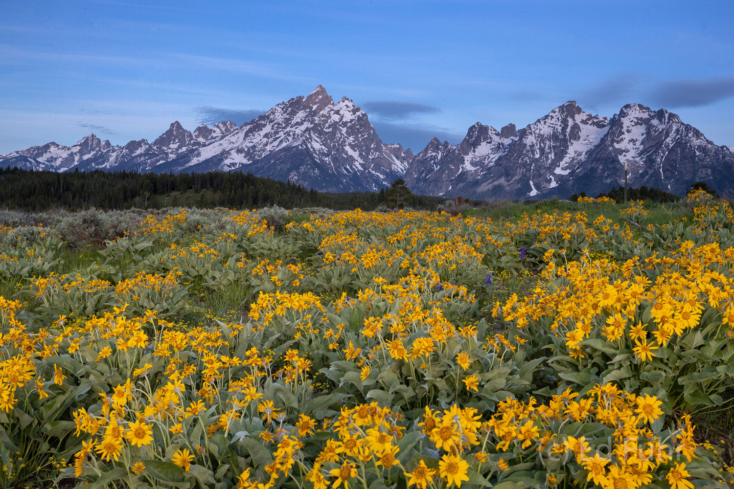In early summer the meadows below the Tetons break out in sweeping swaths of brilliant wildflowers.