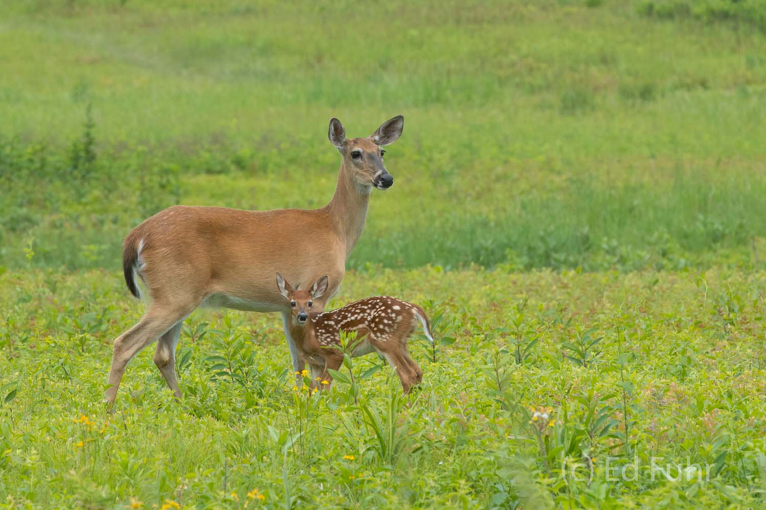 Shenandoah, Shenandoah National Park, photo, photography, images, mountains, wilderness, Virginia, deer, photo