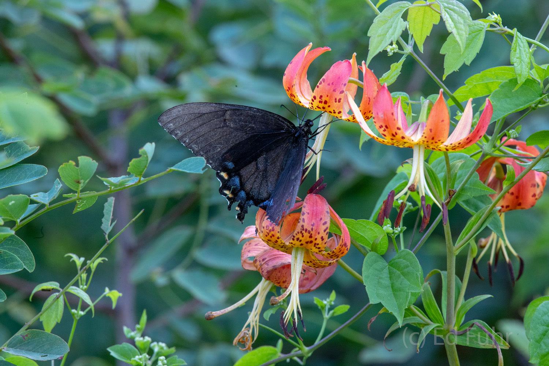 A black female swallowtail sips the sweet nectar of Turks Cap.