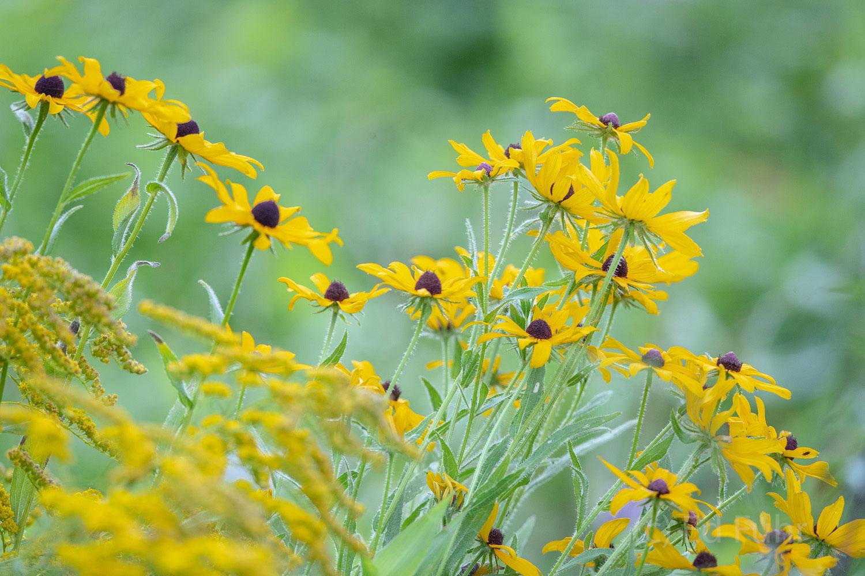 A Helianthus Bouquet