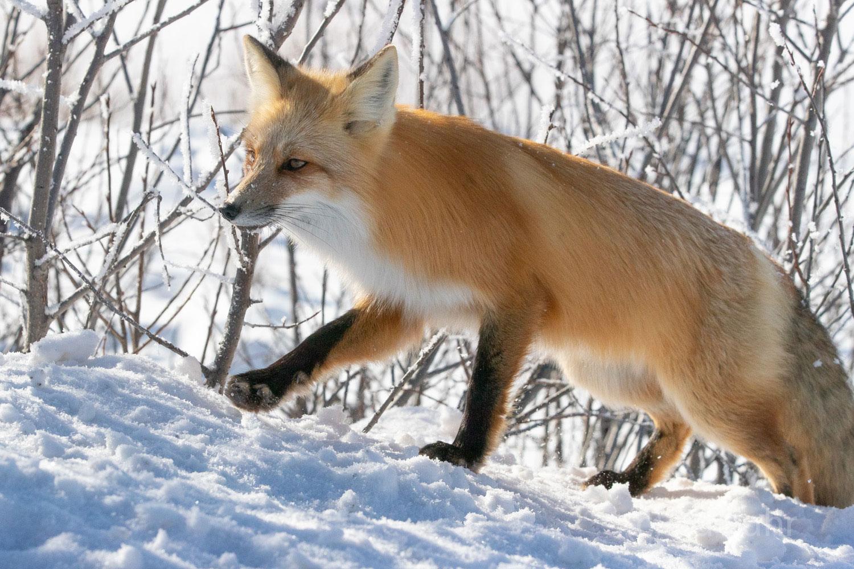 A fox makes its way atop a snow ridge enroute to the frozen river's edge.