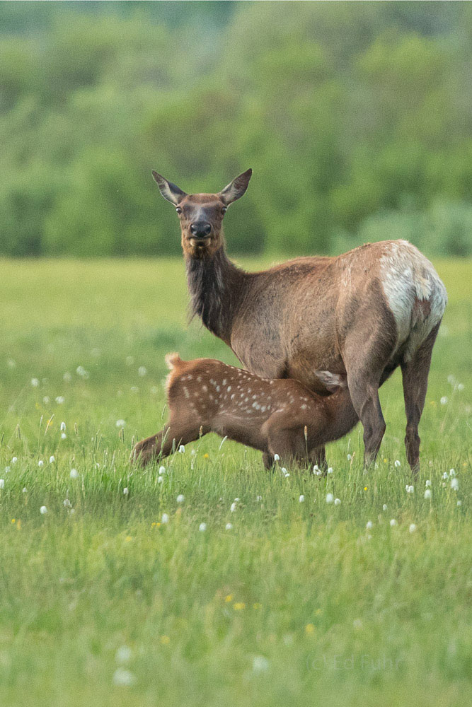 A young elk calf nurses in an open meadow while mom remains on high alerts.  Dozens of calf will hunted and killed by grizzlies...