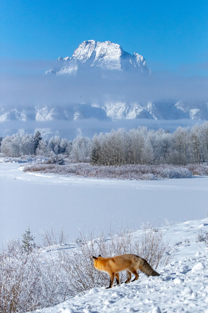 fox, owbow bend, winter , photo