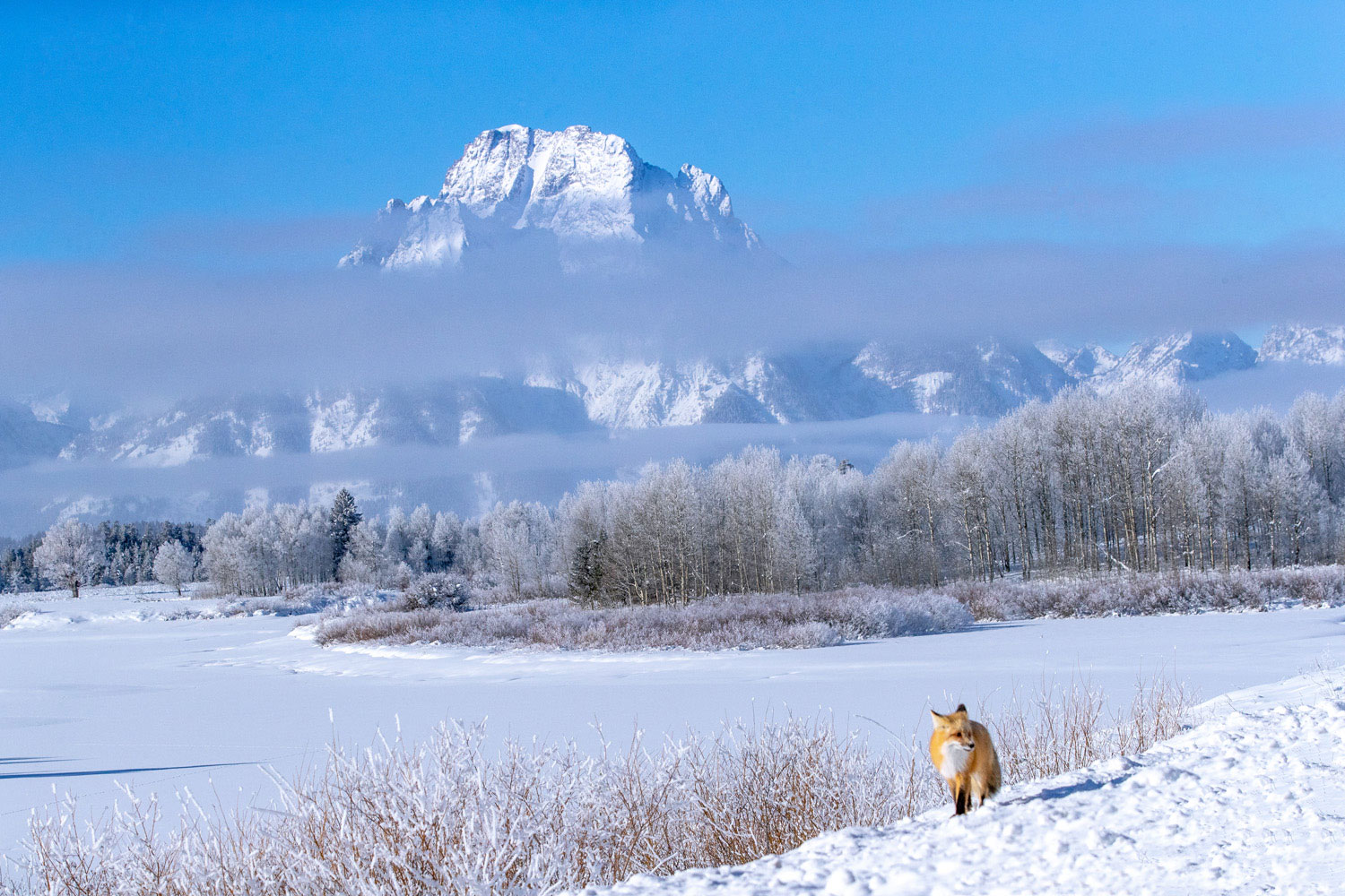 One of the most spectacular vistas in any national park, Oxbow Bend is home to countless animals.   In winter, their tracks can...