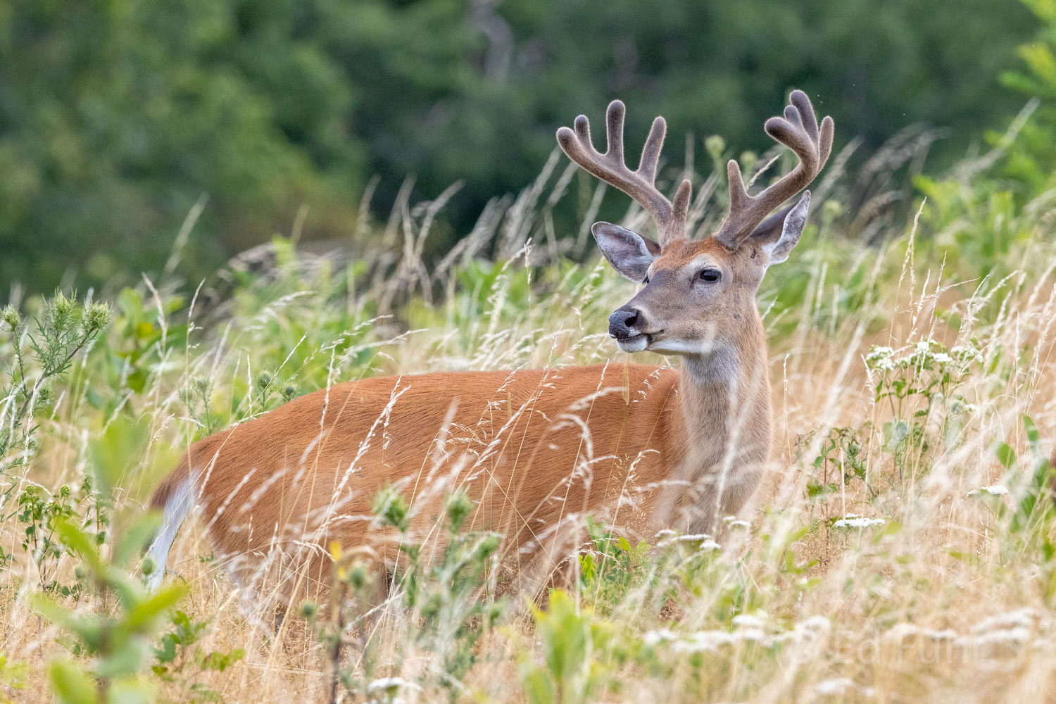 deer, buck, photo
