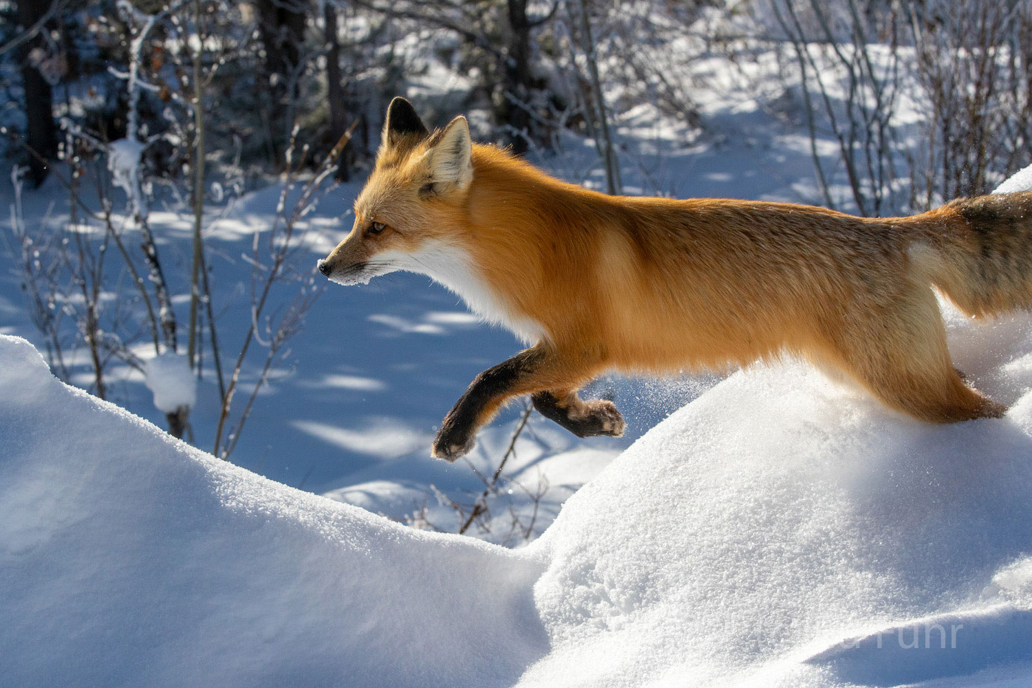A fox leaps from a snow bank as he races ahead.