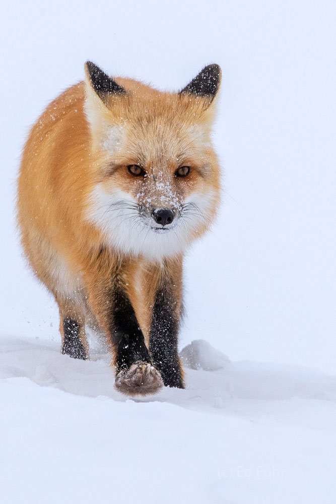 Fox, winter, snow, photo
