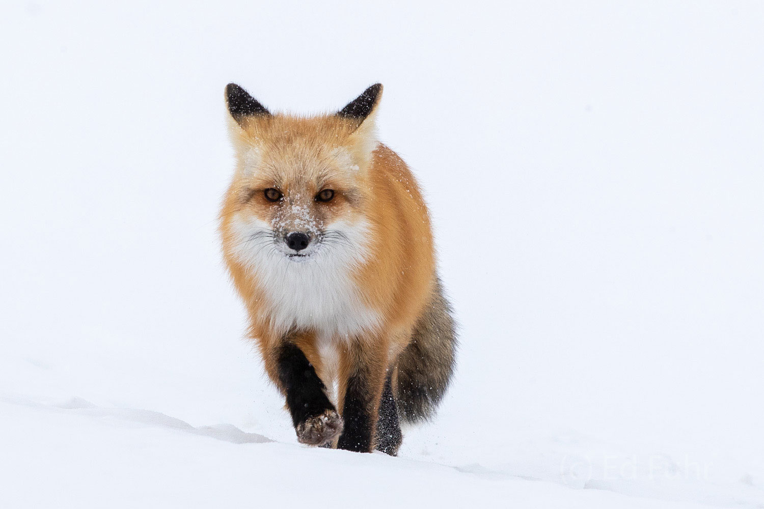 Fox, winter, snow, Tetons, Grand Teton, photo