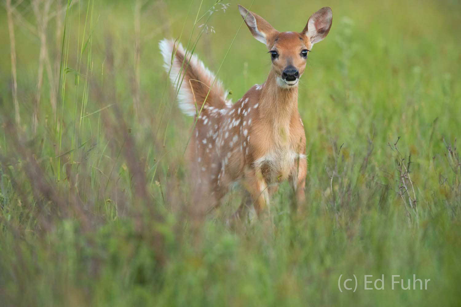 A young fawn stops between jumps to stare with inquisitive eyes before returning to his play.