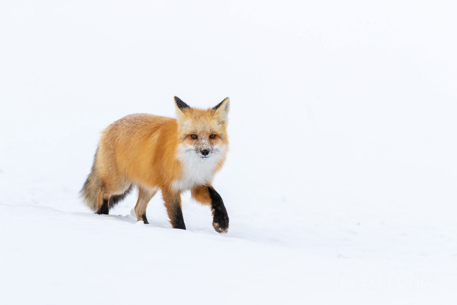 A red fox makes his way across a snow - covered meadow.