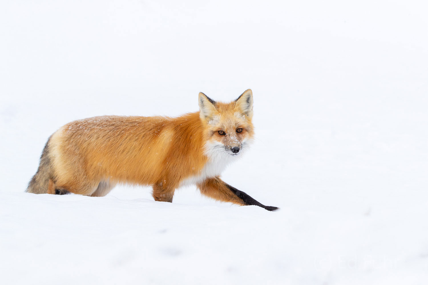 Light afoot, this fox makes his way across the deep snows of this meadow in Grand Teton National Park.