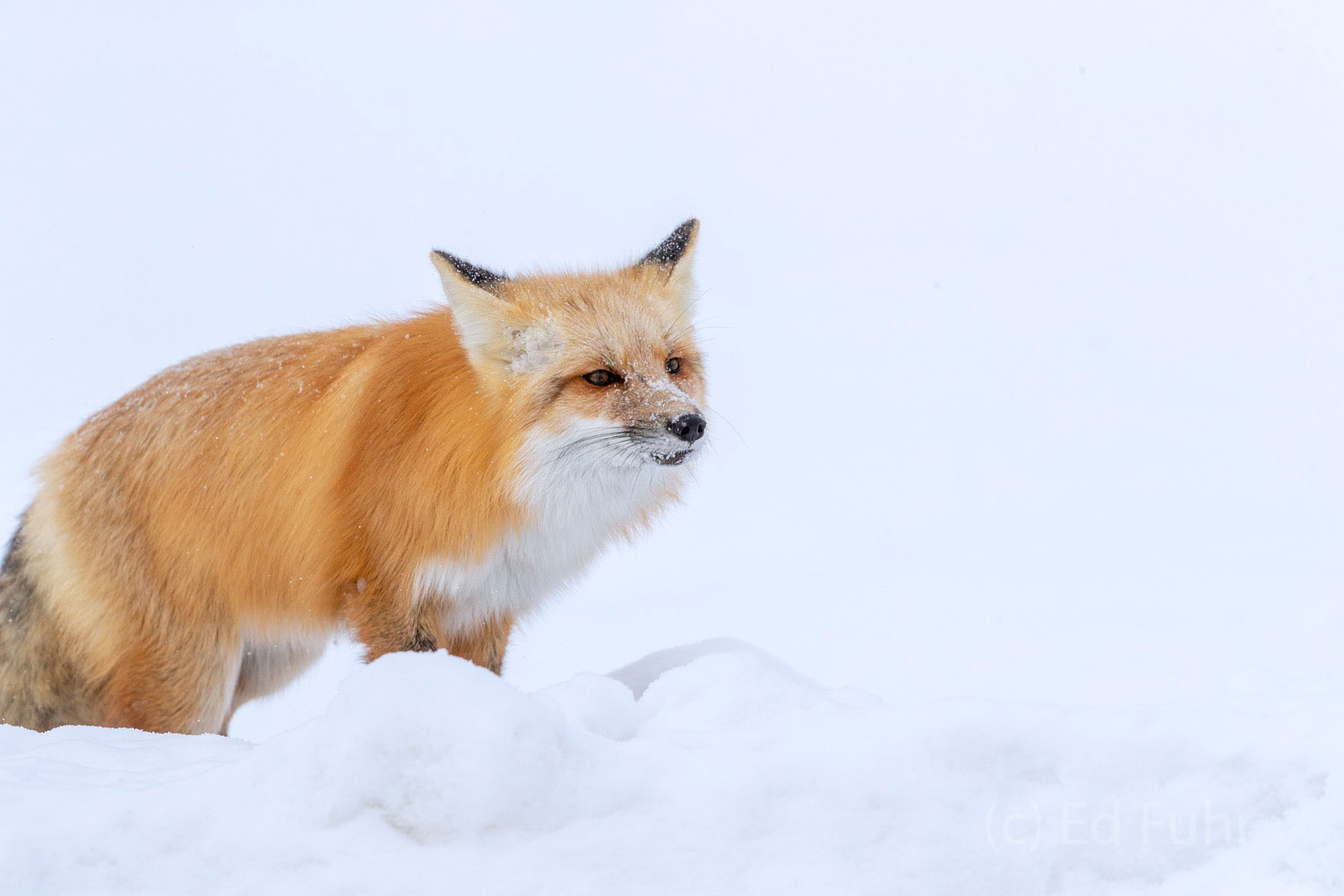 The winds have picked up and it is beginning to snow.   This fox knows it is time to find a secure place in which to bed down...