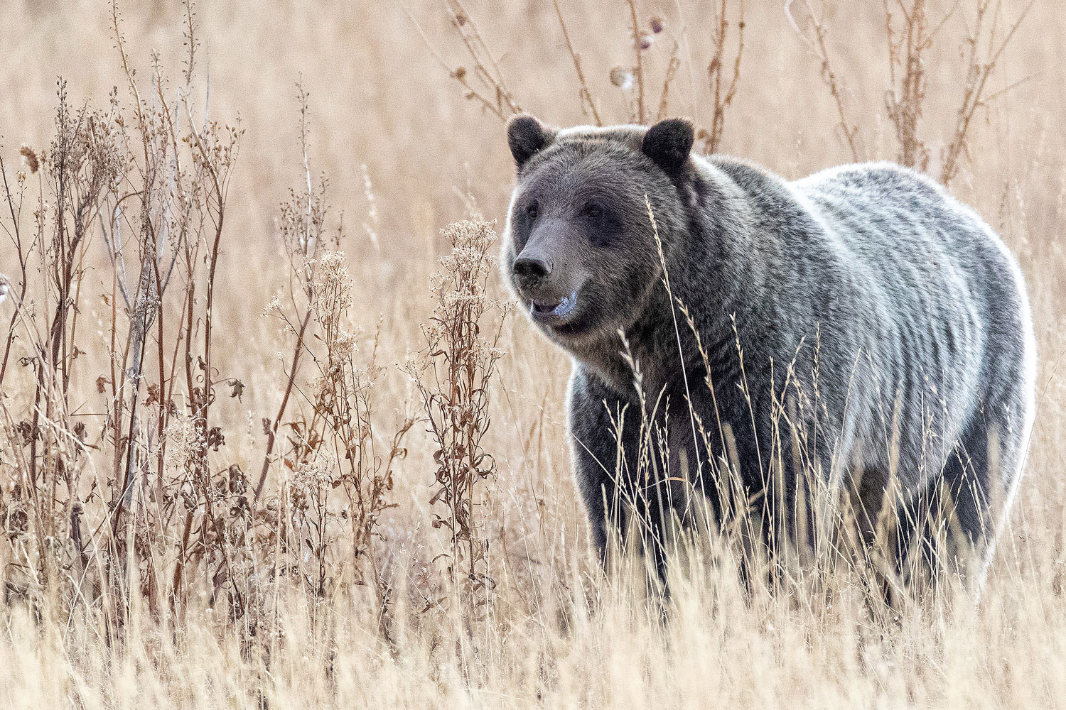 Grizzly bear 610 listens intently for a rodent moving below a field of dried grasses.