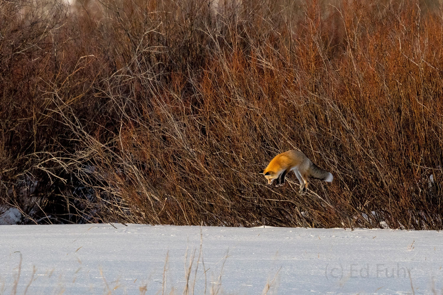A red fox jumps high for food.  He has stood intently where he first detected motion below the deep meadow snow.  After locking...