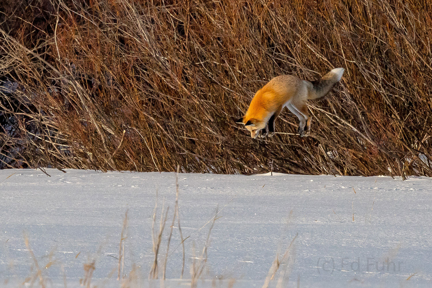 fox, winter, hunting, Tetons, Grand Teton, photo