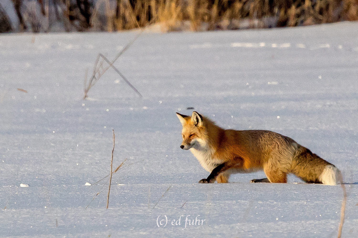 The crusty top on the deep snow is a mixed blessing to hunters like this red fox. It allows the fox to travel across the snow...