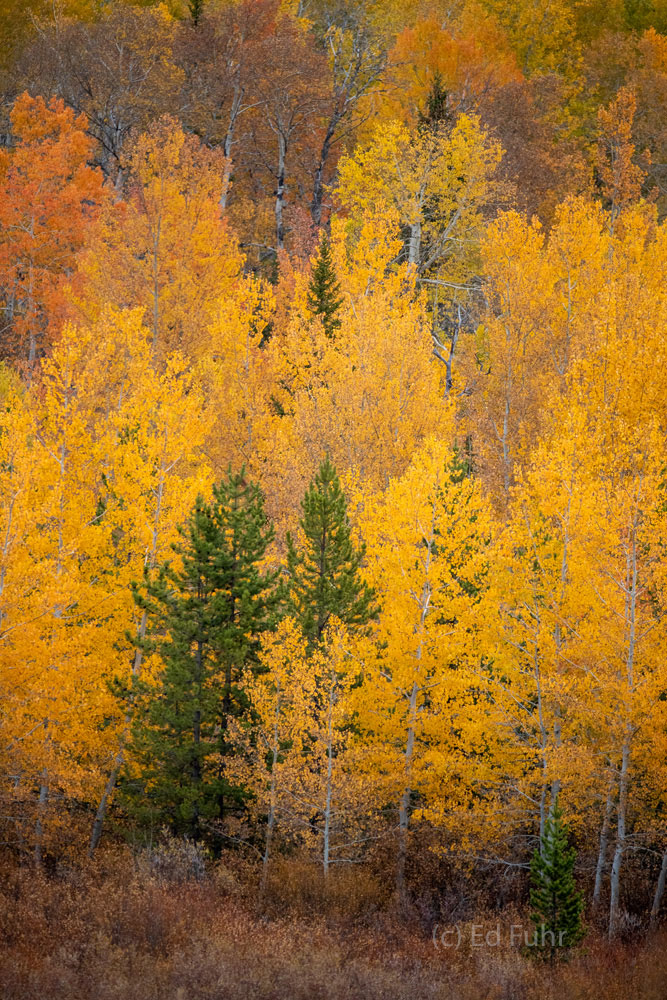 A colorful grove of aspens and pine mix near Two Ocean lake.