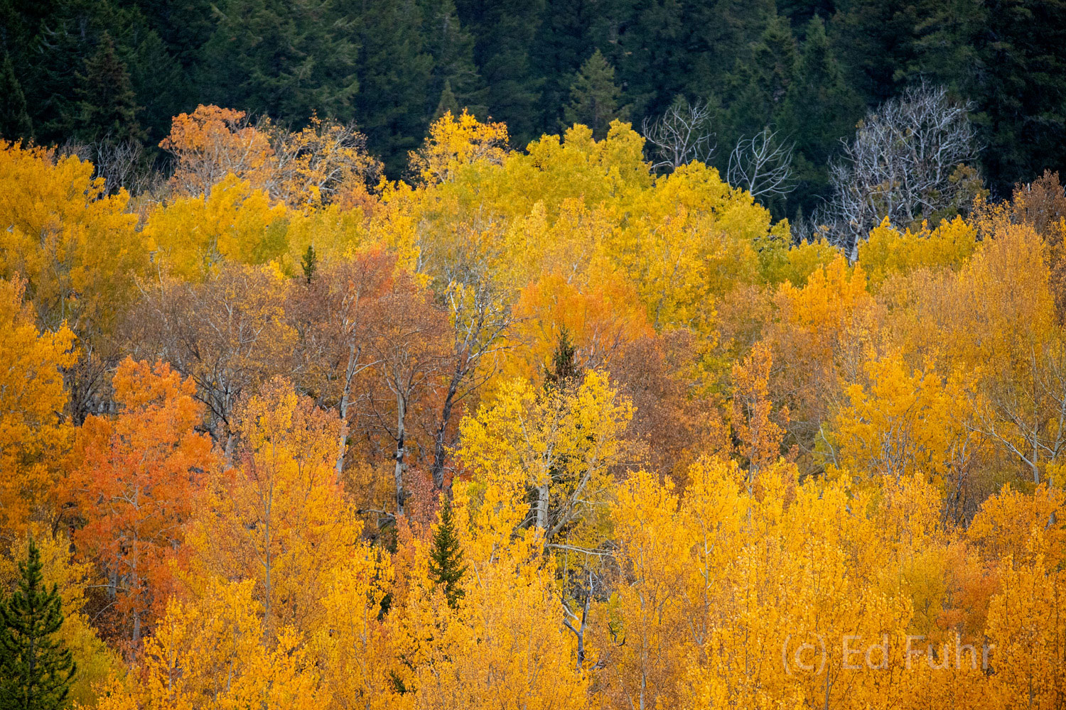 A colorful mix of aspen show off their autumn foliage along Pacific Creed Road.