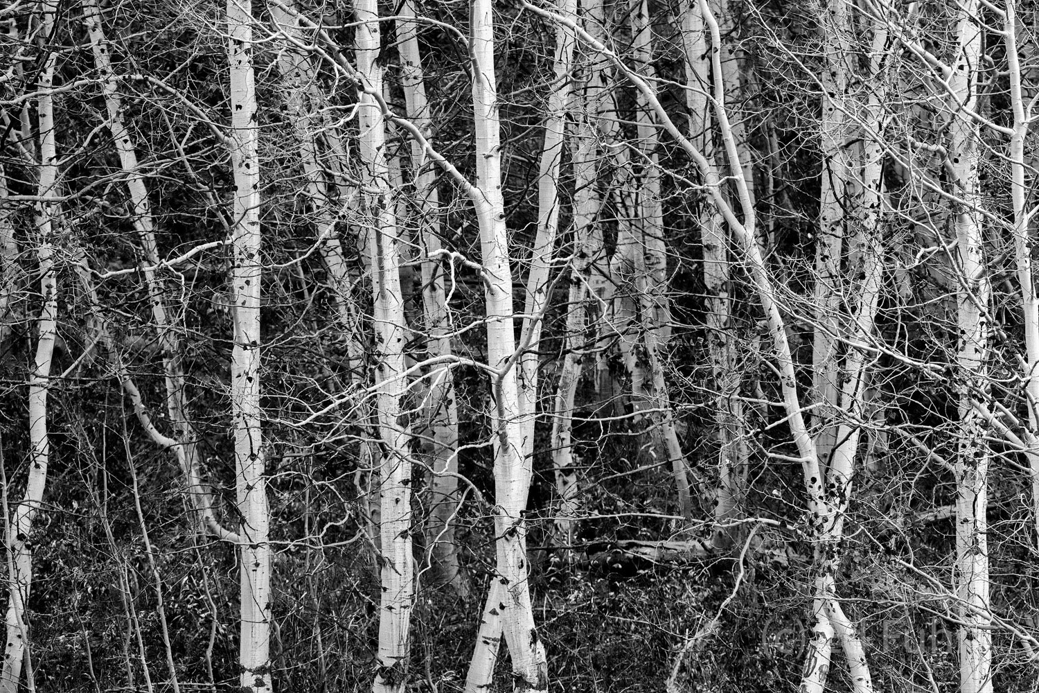 There is a timeless quality to aspen groves, especially when viewed without the glitter and distraction of autumn's glow.