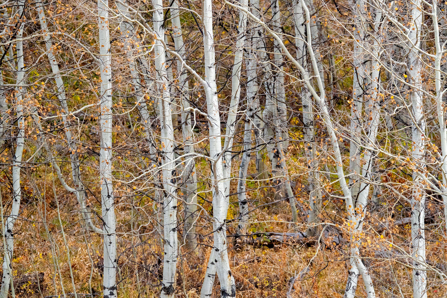 A few final fading leaves of fall cling in this grove of aspens.