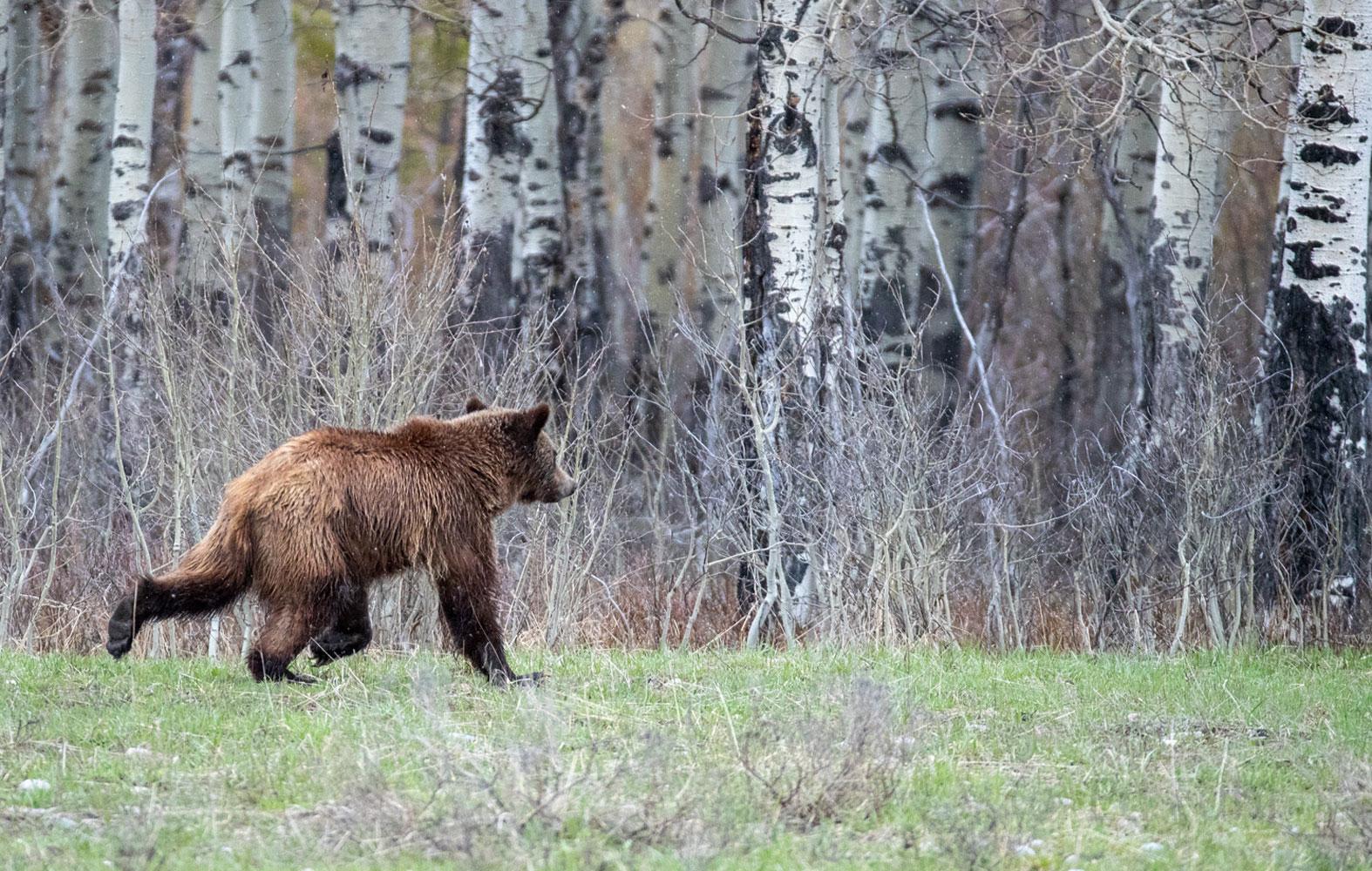 399 cub, grizzly, bear, photo