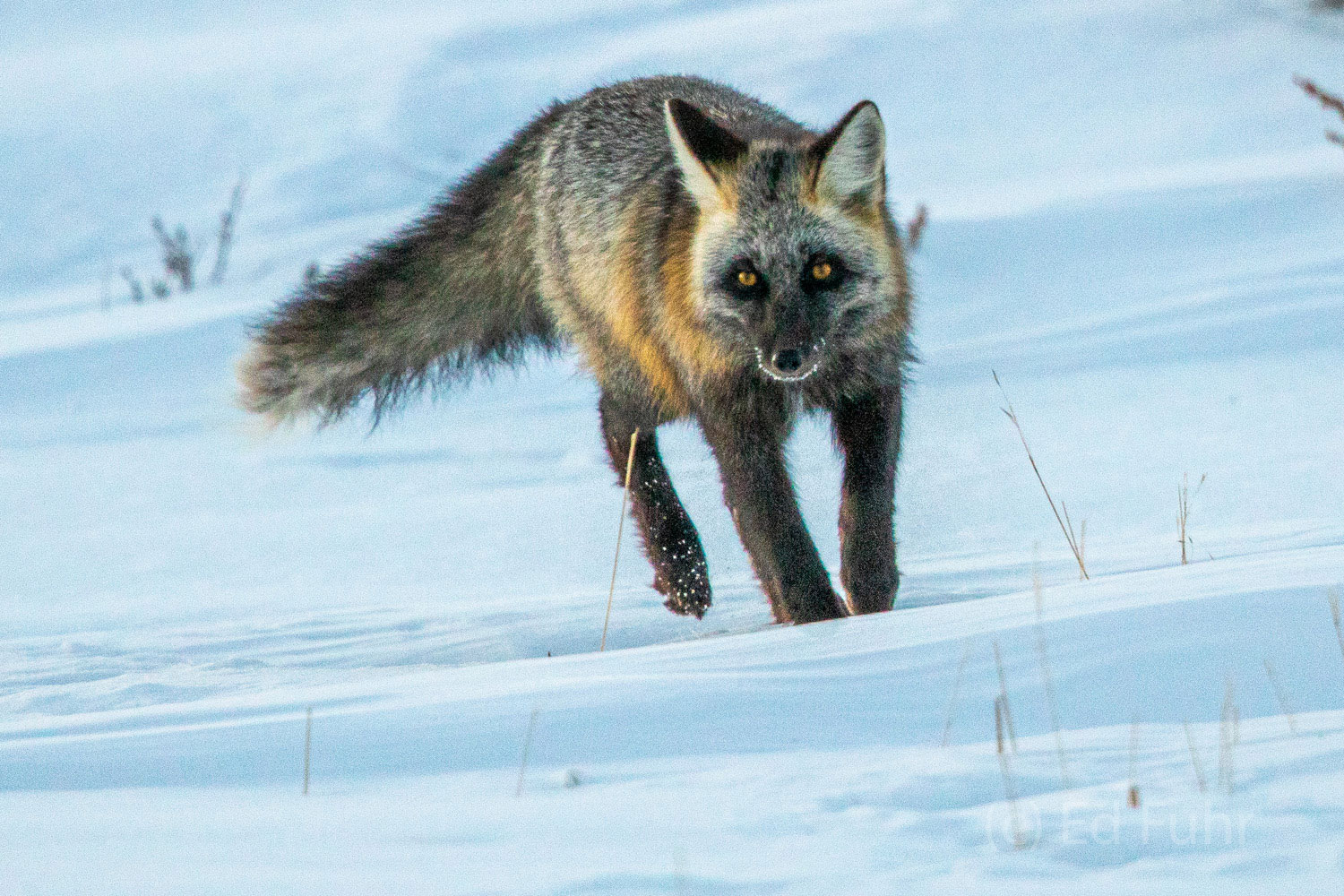 cross fox, winter, snow, photo