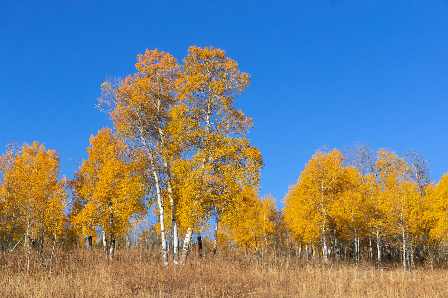 A hillside of aspen turn from yellow to gold overnight.  In another two days, these leaves will fall and the landscape will turn...