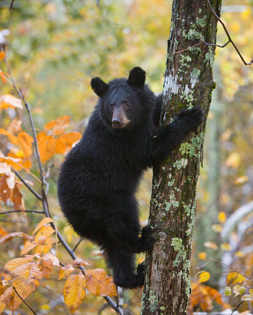 Shenandoah, black bear, photo