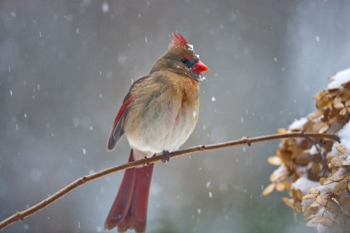 cardinal, virginia, snow, photo
