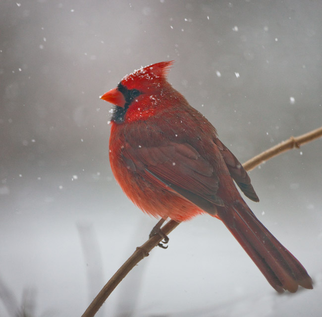 cardinal, bird, virginia, snow, photo