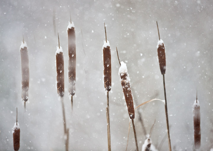 cattails, snow, richmond, virginia, photo