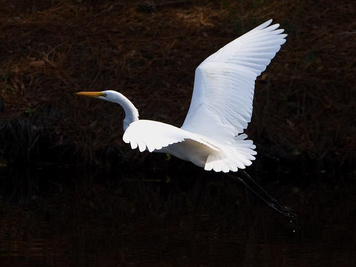 egret, kiawah, south carolina, photo