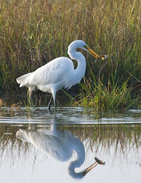 egret, fish, kiawah, photo