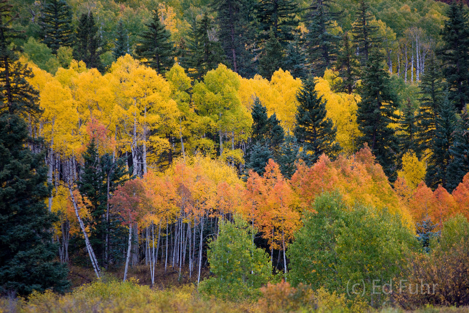 aspens, san juan mountains, colorado, photo