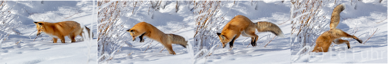 WIth great precision, the fox listens and identifies the location of a rodent that has unwisely moved two feet below the snow...