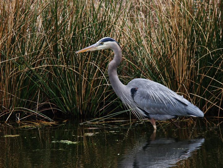 heron, blue heron, kiawah, south carolina, marsh, photo