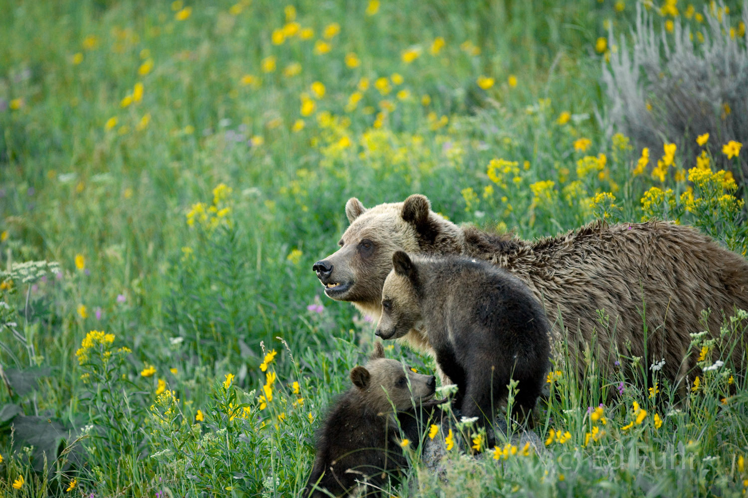 A grizzly mom keeps a wary eye on the valley below as she and her cubs feed on the slopes below Mount Washburn.