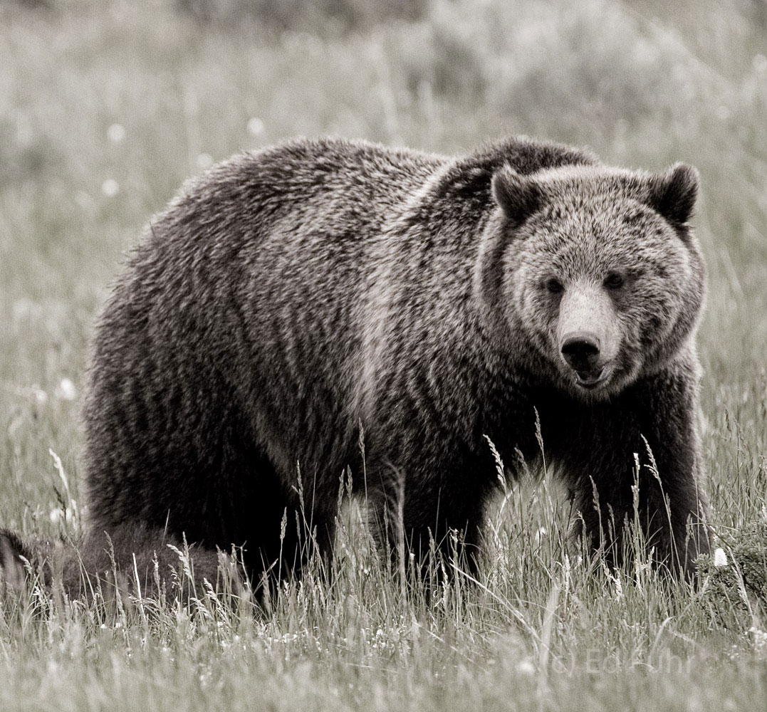 This large grizzly can run some 30 mph across rough terrain for more than a mile.