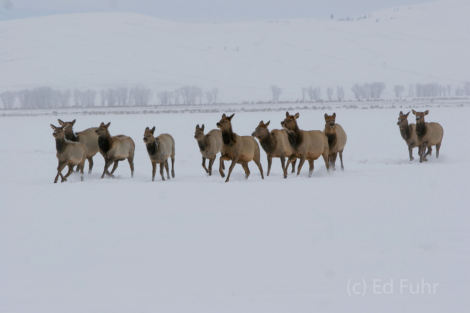 A herd of elk head from the open meadow to a more protected area as another winter storm begin.