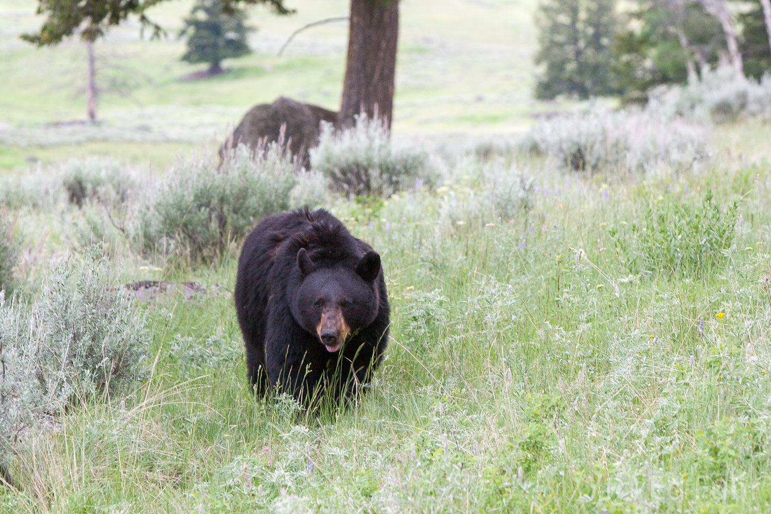 The classic Yellowstone scene:  a large bear meanders through the rolling hills of Yellowstone.