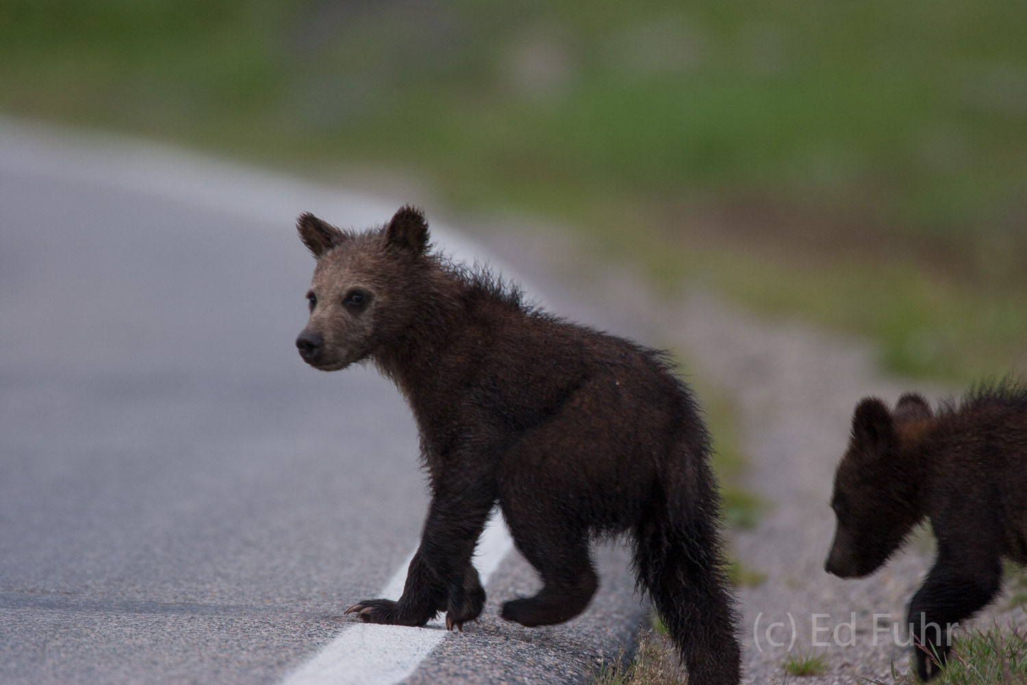 This young grizzly cub already understands that roads can be dangerous.  Nearly every year a grizzly bear or cub is killed by...