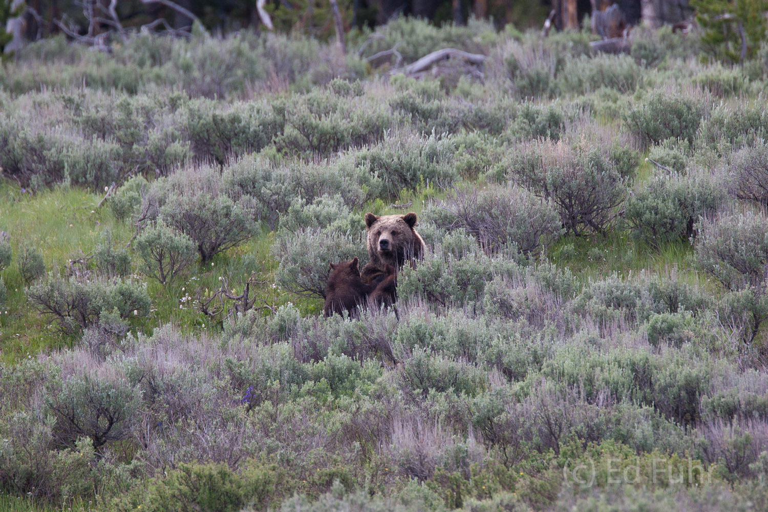 A mother grizzly provides nourishment to her growing twin cubs.