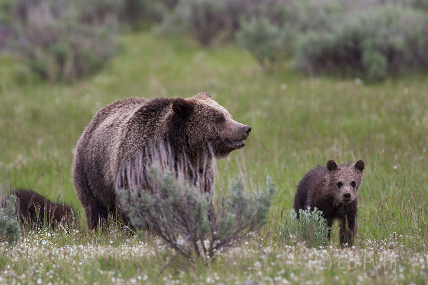 A grizzly family searches relentlessly for food.