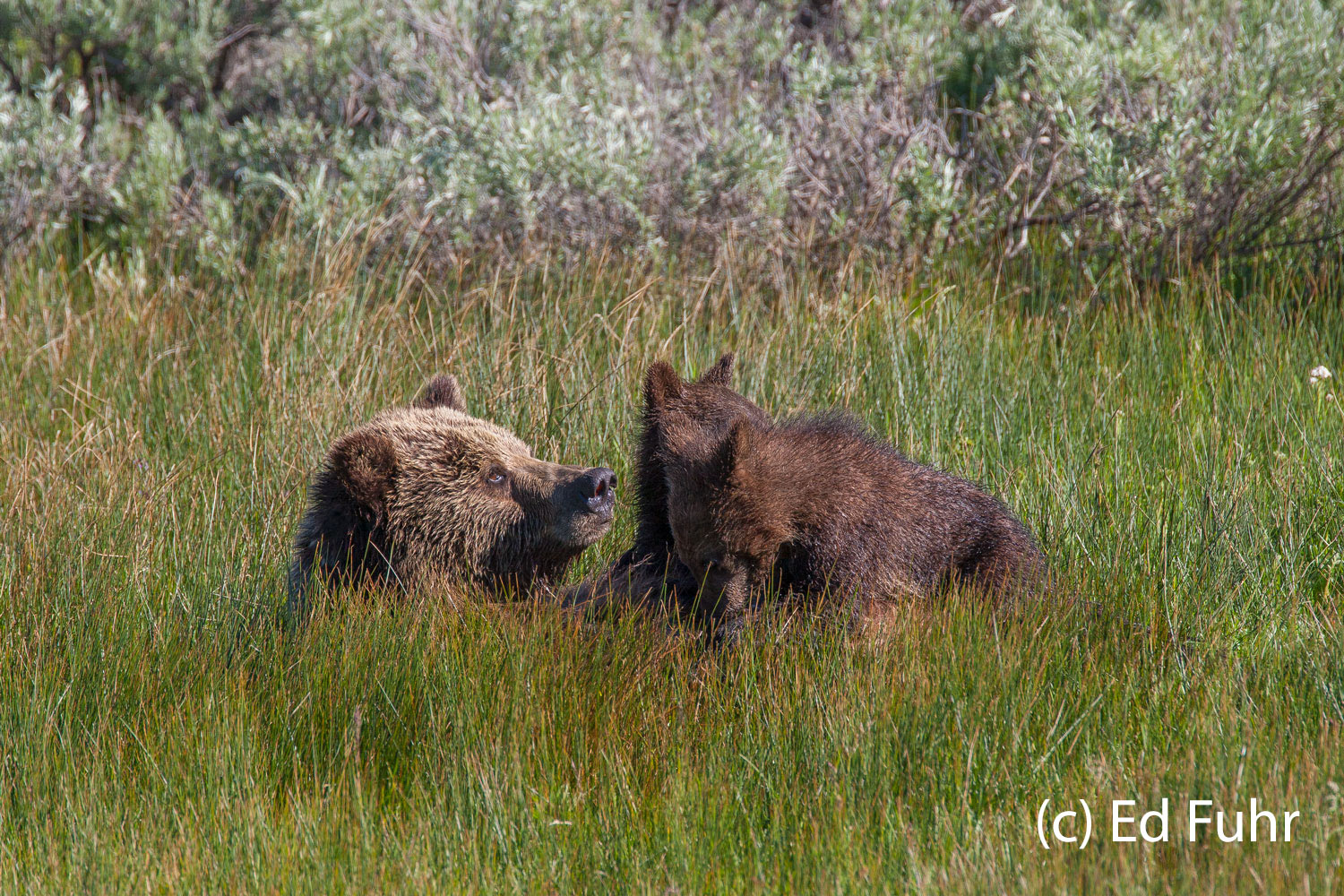 For more than twohours mom worked to haula dead elk from a water-filled swale and had feasted on her find. ...