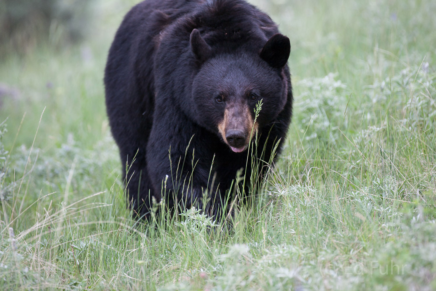 A very large and healthy black bear seems to believe he can hide behind a reed of grass.