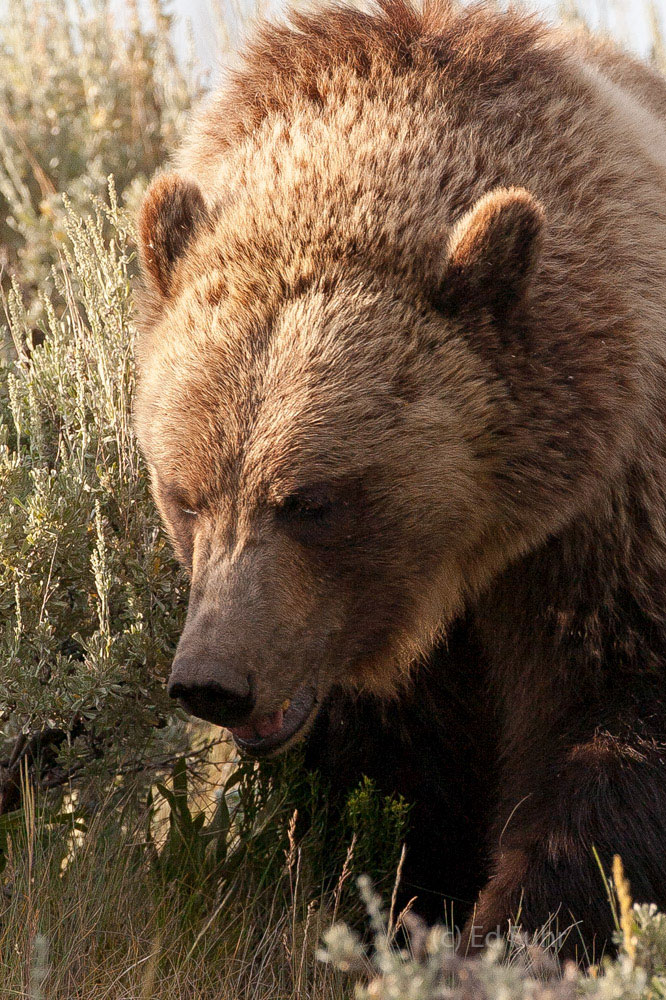 A long lens deceives the distance and perspective at times, making this very large grizzly seem a lunge away.