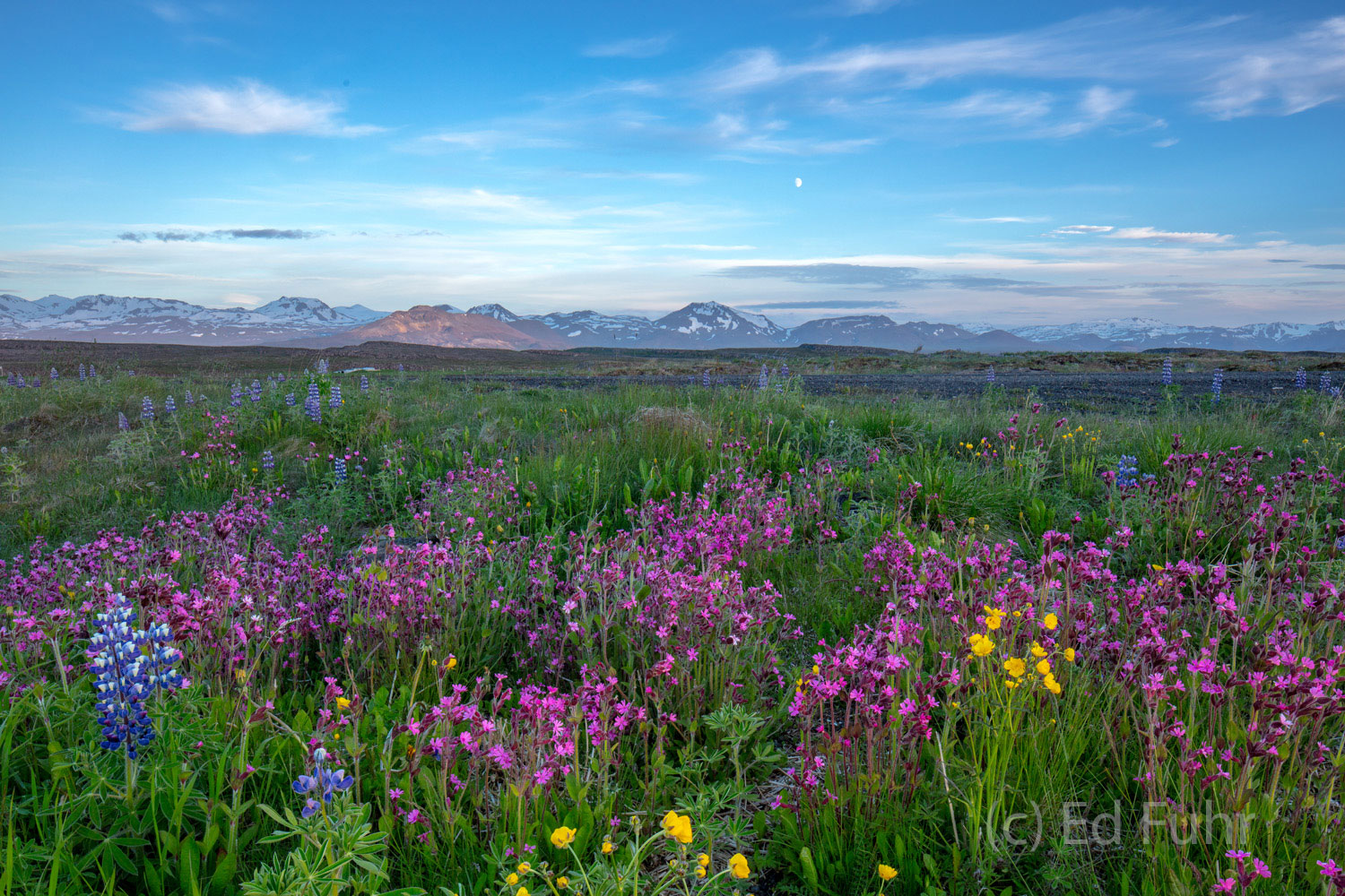 Though the soils on Iceland are thin and lava dominates, great meadows of wildflowers carpet wide swaths of the island.