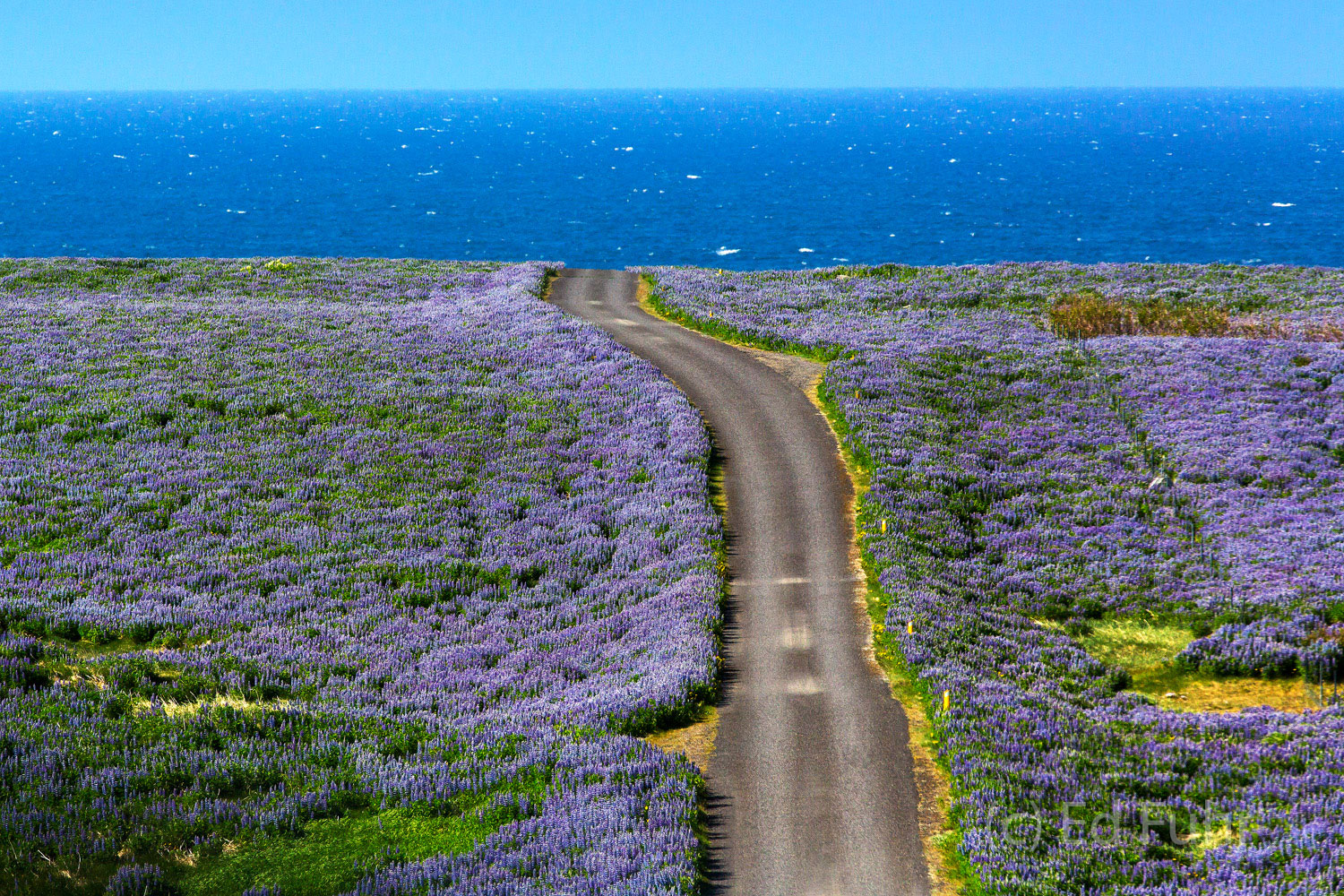 A dirt road leads to the sea at Breidafjordur through a field of lupines, below the church at Ingladsholl.